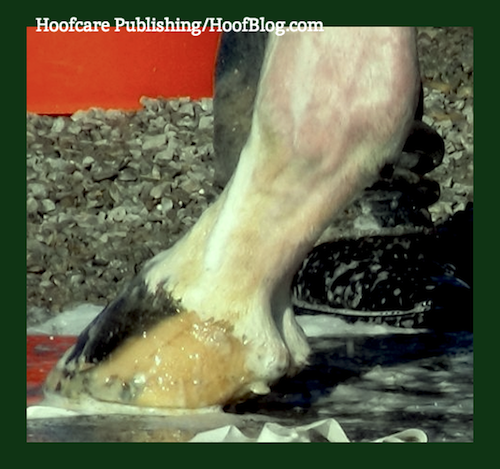 striped hoof of racehorse Verrazano