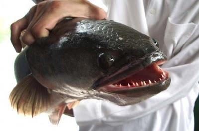 pez mensajero del infierno en nueva york