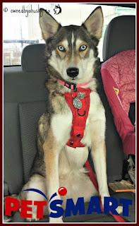 Husky riding to petsmart