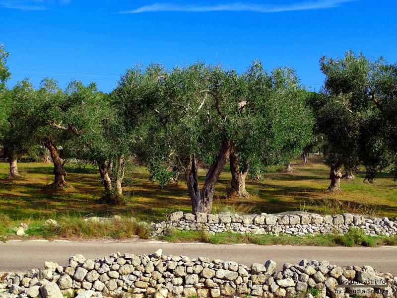 Zug Maglie - Otranto: Olivenbäume und Trockensteinmauern