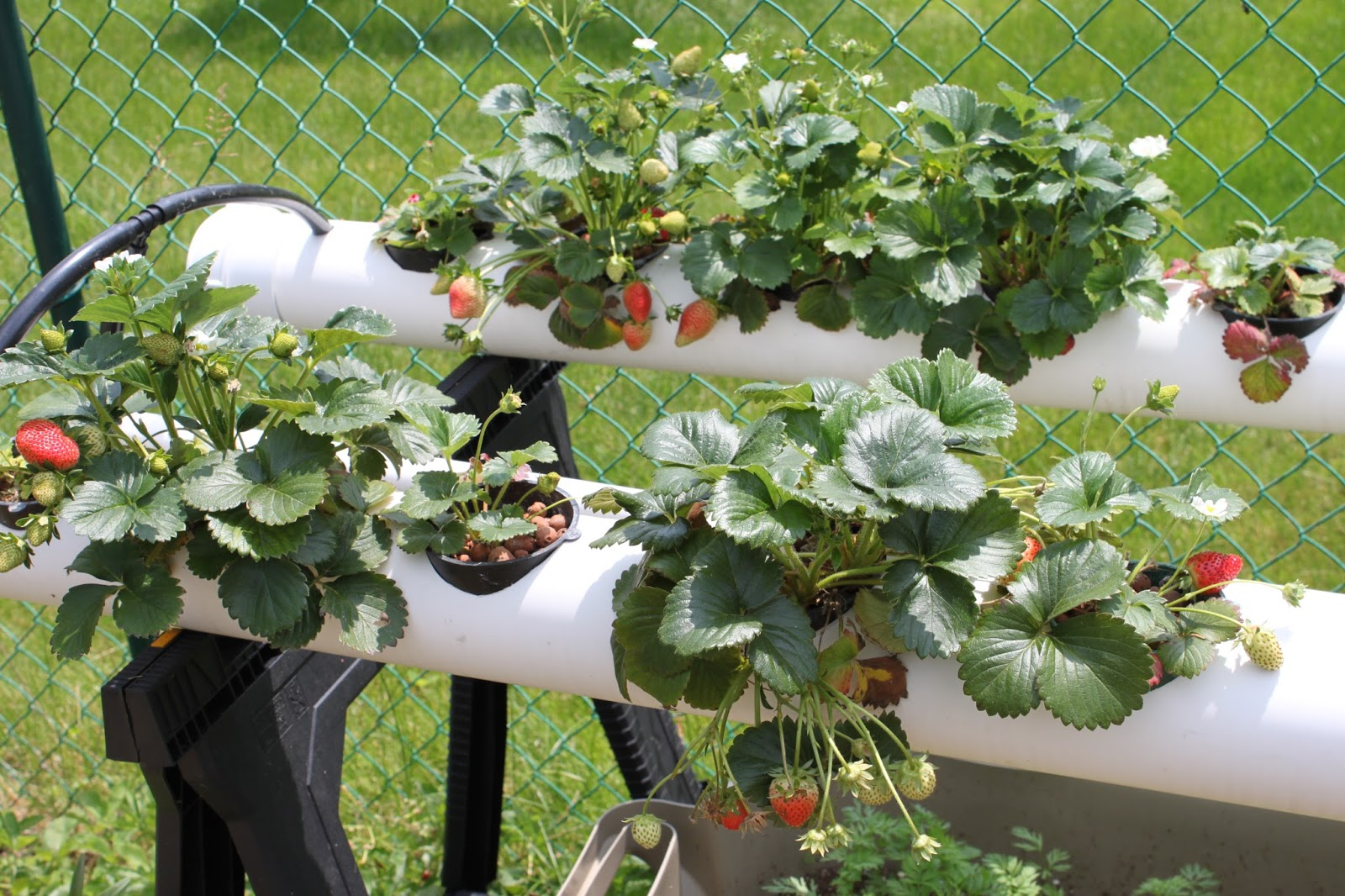 Simpson Eco Farms Strawberry Hydroponics Update