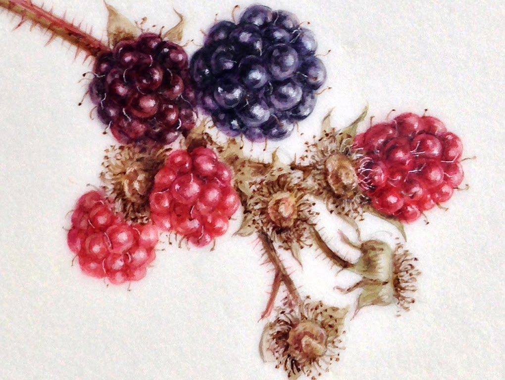 detail from watercolour of blackberries on Kelmscott vellum