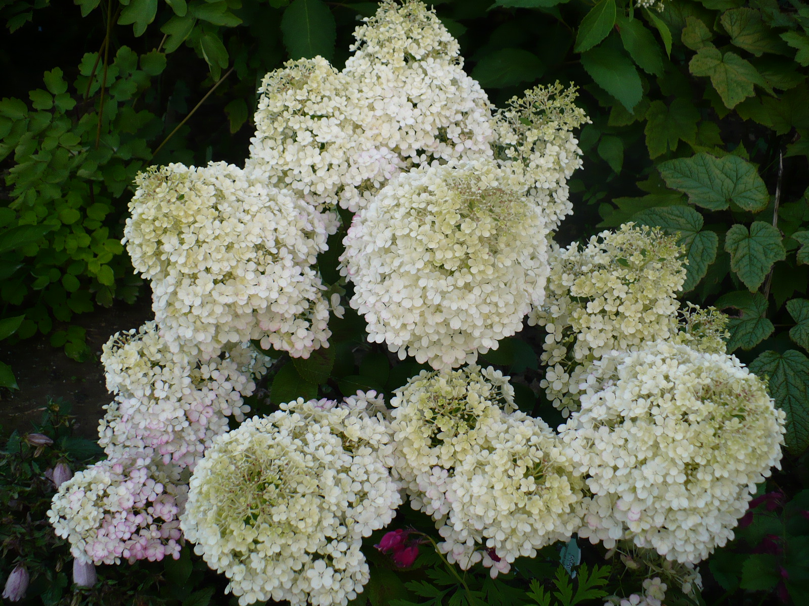 hydrangea hortensja hydrangea paniculata hortensja bukietowa 39 ilvobo 39 bobo. Black Bedroom Furniture Sets. Home Design Ideas