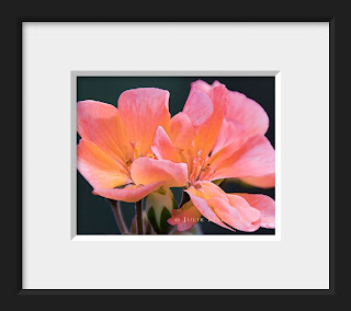 A virtual framed display of the delicate sunlit pink blossoms of a geranium in sunset colors of tangerine, fuchsia, and orange.