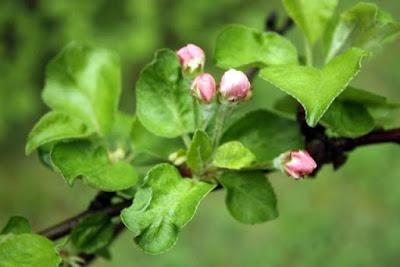 omenapuun nuput