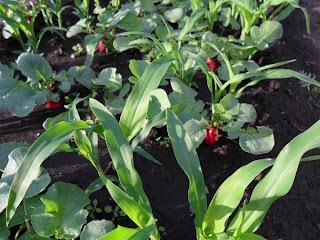 4 июня, кукуруза растет вместе с редиской