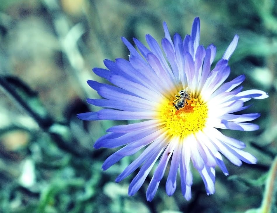 Mohave Aster with Syrphid Fly_5964