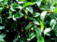 Manggis (Garcinia mangostana. L)