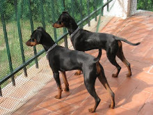 Scotty y Kira. Pinscher miniatura