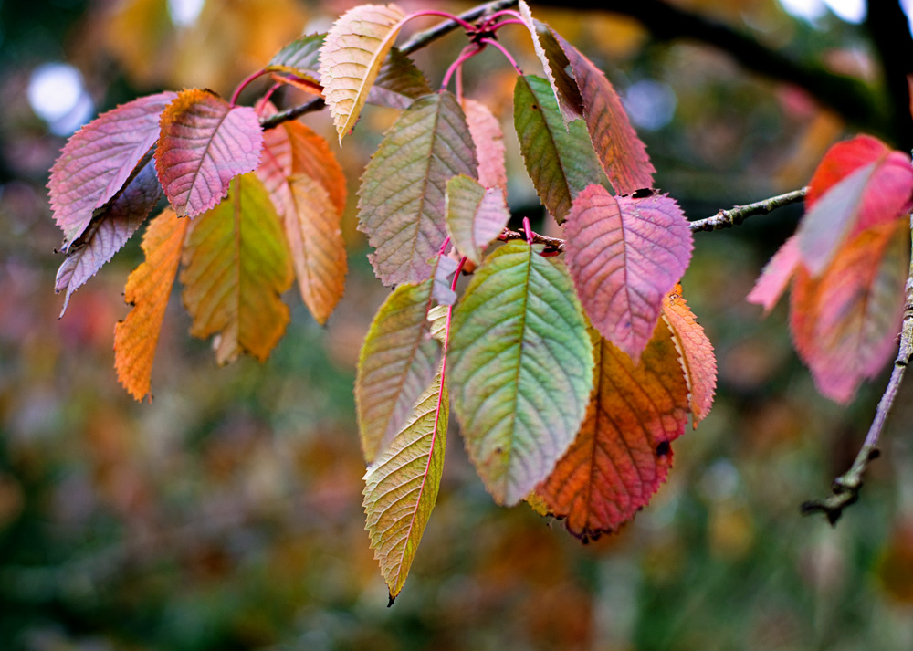 close up of a tree brach with orange, red, and gold leaves