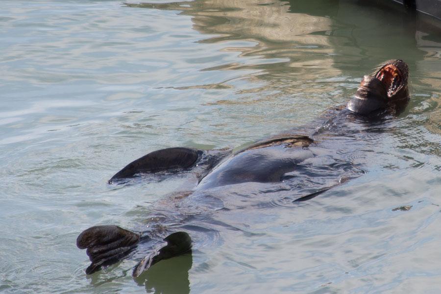 San Franscisco, fishermans whard, sea lions