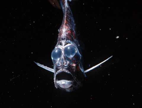 Hatchetfish bioluminescence - photo#16