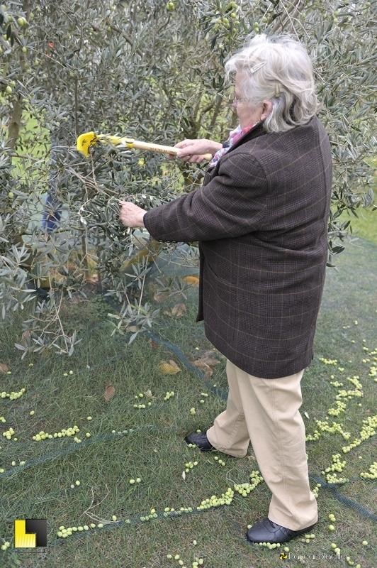 Félicienne Blachier ramasse les olives photo Blachier Pascal