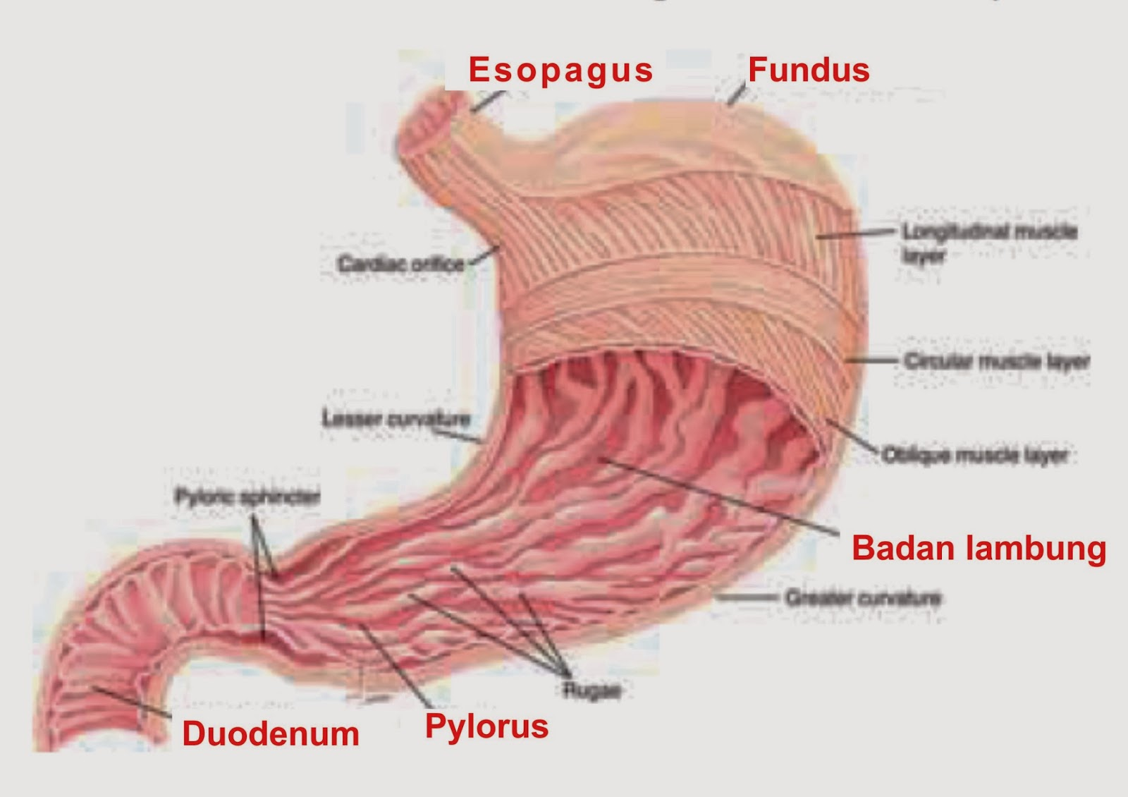 tumor in maag