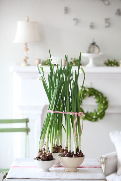 an anglo in qu bec amaryllis and paperwhites. Black Bedroom Furniture Sets. Home Design Ideas