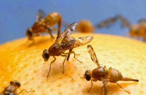 Moscas-das-frutas da família Tephritidae