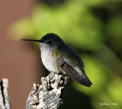 Anna's (F) Hummingbird Â