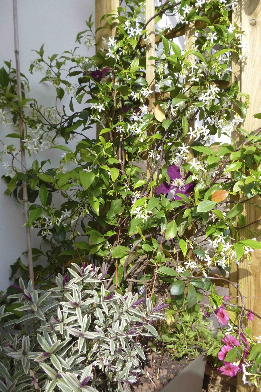 la m tamorphose du balcon fiche de culture le jasmin toil ou trachelospermum jasmino de. Black Bedroom Furniture Sets. Home Design Ideas