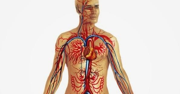 Circuito Circulatorio : MecÁnica de fluidos el sistema circulatorio como sistema de tubos