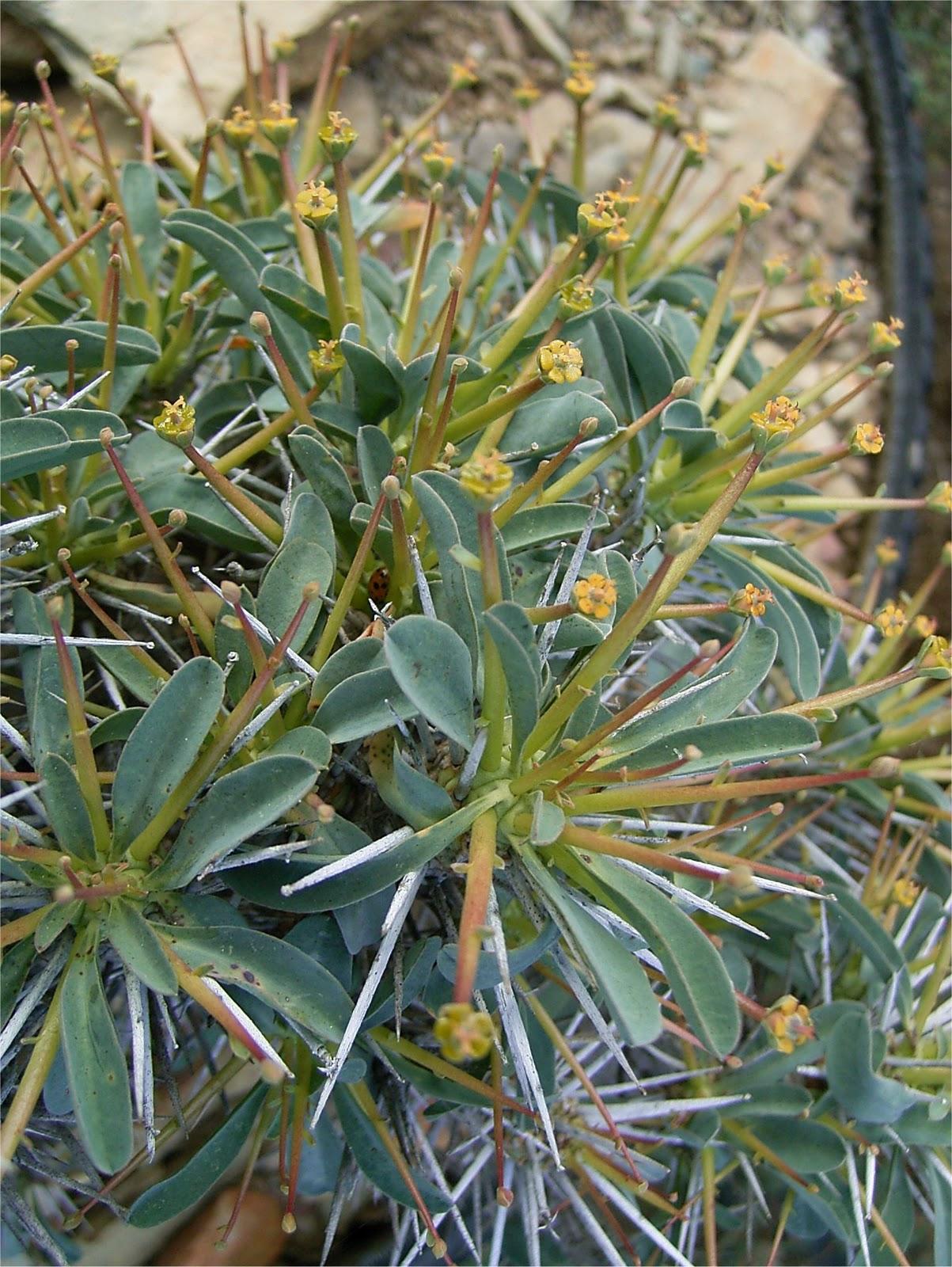Euphorbia eustacei flowers cyathia leaves