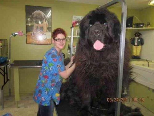 the biggest newfie dog your art. Black Bedroom Furniture Sets. Home Design Ideas