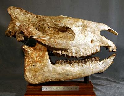 Subhyracodon skull