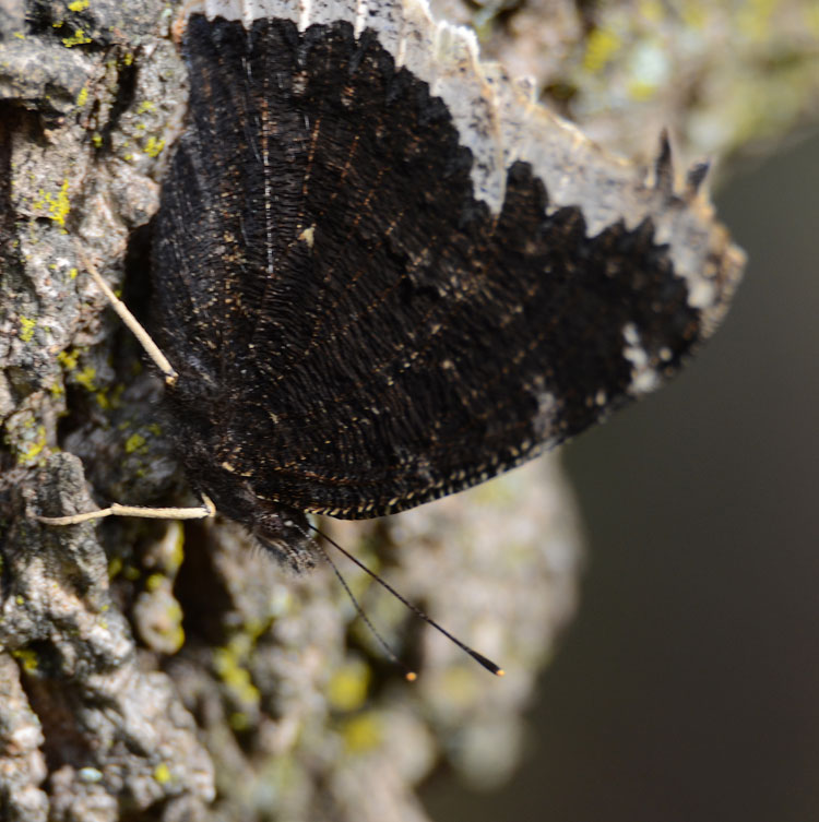Ventral view of a Mourning Cloak butterfly; the wings are dark and wrinkled-looking, and resemble bark
