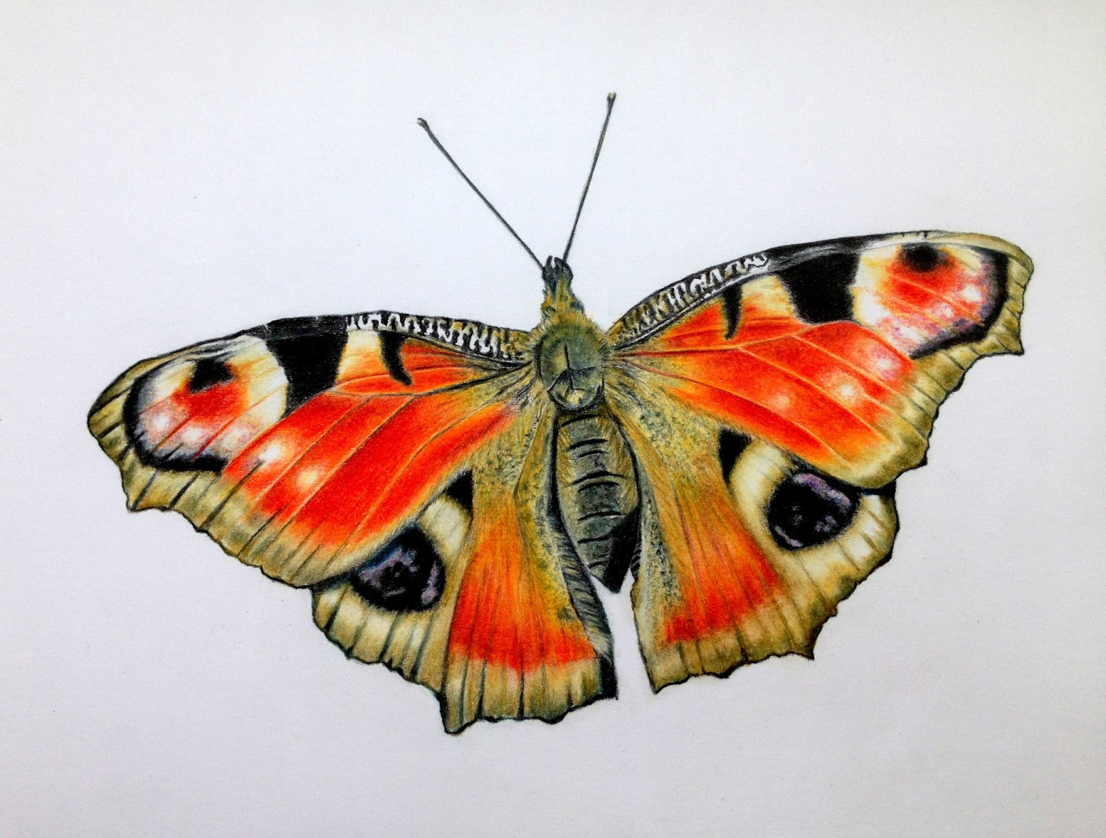 Coloured pencil sketch peacock butterfly