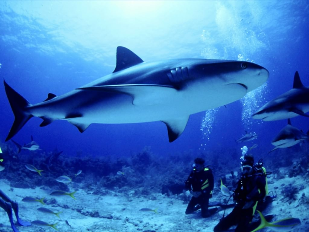 Animal world toktil animal world all about shark around for Are sharks fish