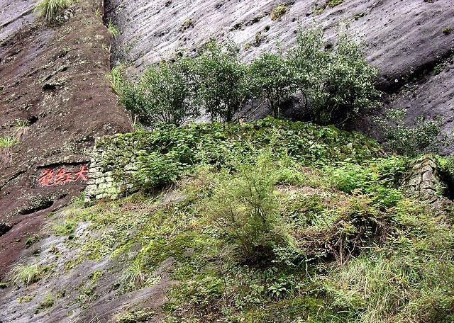 Árvores anciãs de chá. Foto:esgreen.com