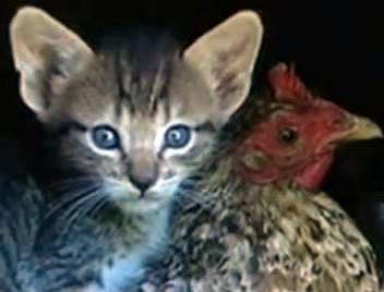 Filhote da gatinha Nim e sua babá, a galinha Garnizé