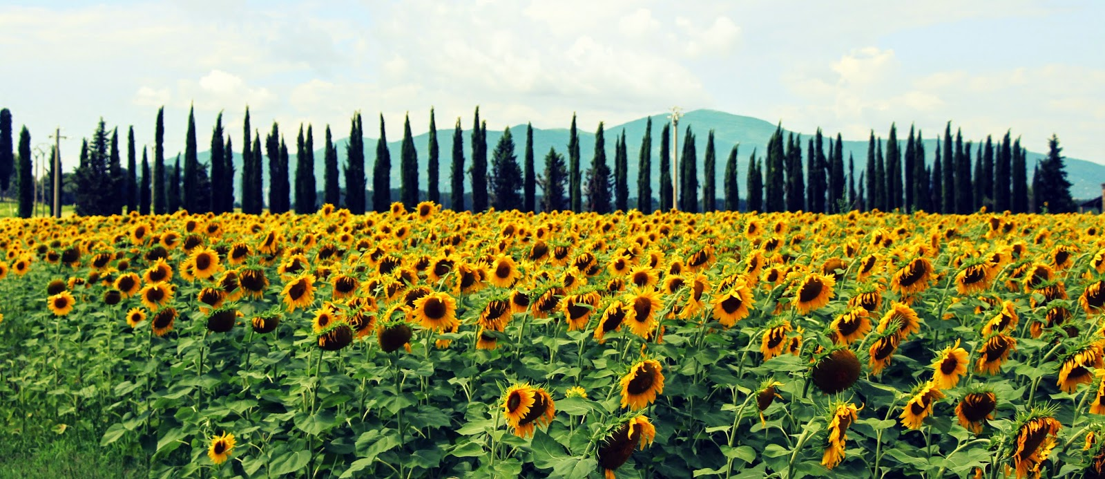 Sunflowers and cypress trees in Tuscany, Italy