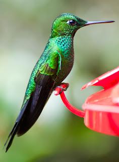 Lengua mecanica del colibri
