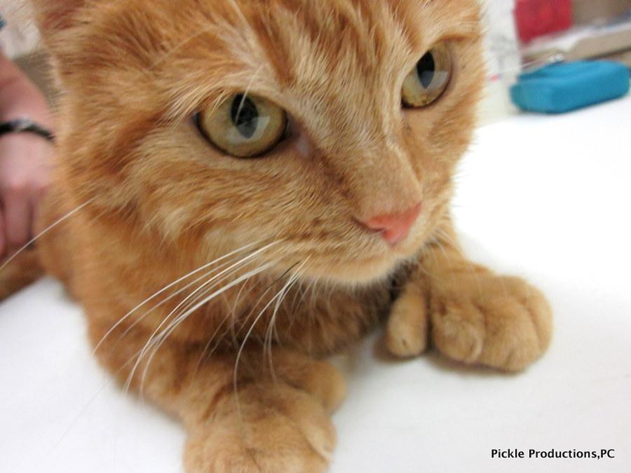 Orange Polydactyl Cat | www.imgarcade.com - Online Image ... Orange Polydactyl Cat