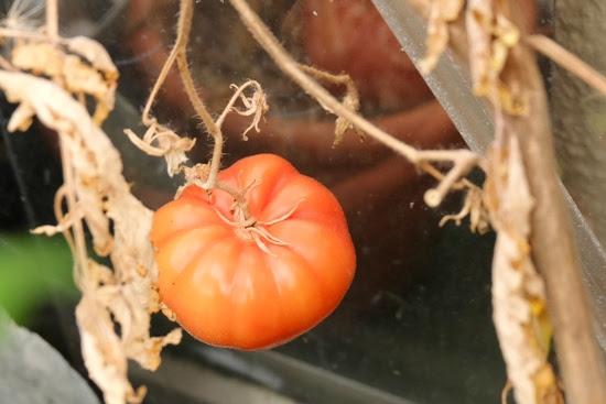 Tomato plant. Recipe.