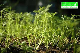carrot crop Daucus carota