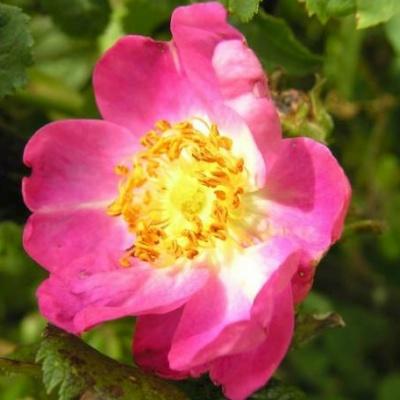 Simile Alla Rosa Specie Simile a Rosa Canina