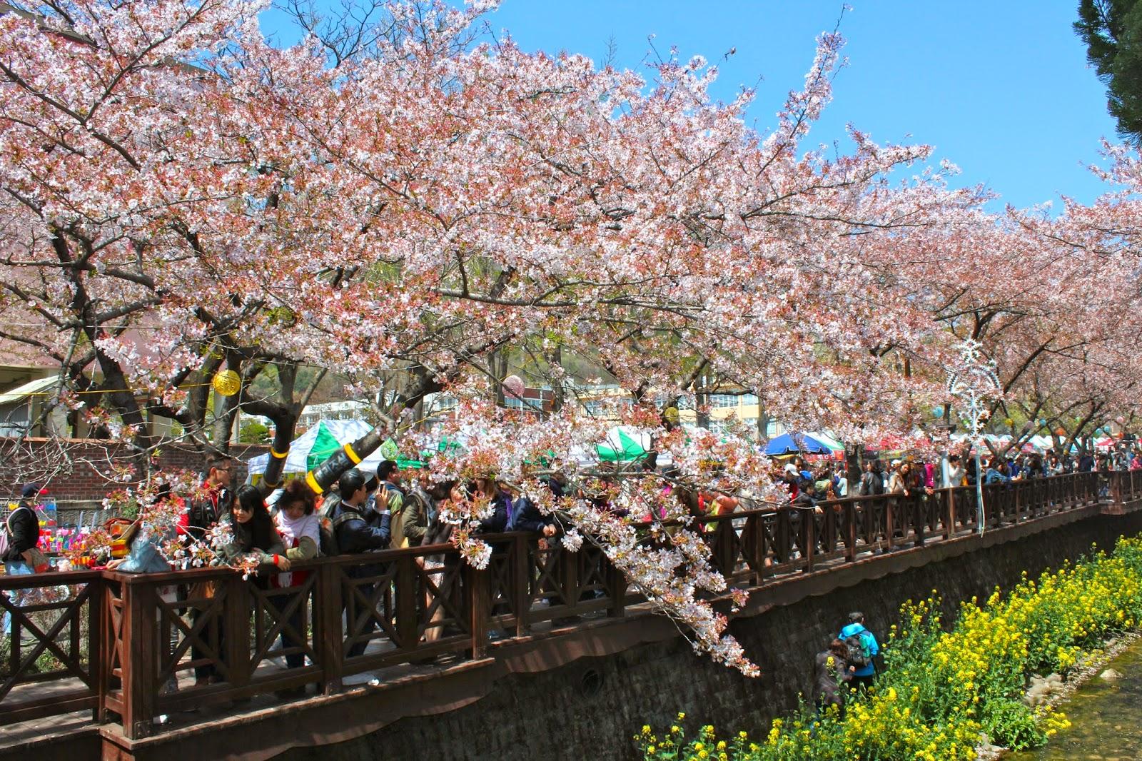 Jinhae cherry blossom festival blog