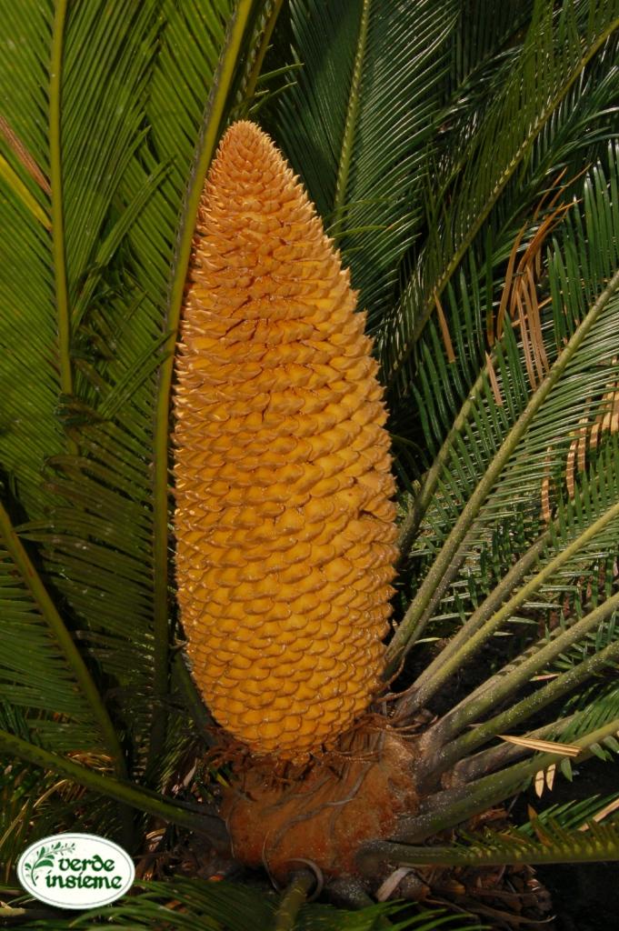 Cycas maschio ed i suoi polloni - Radici palma ...