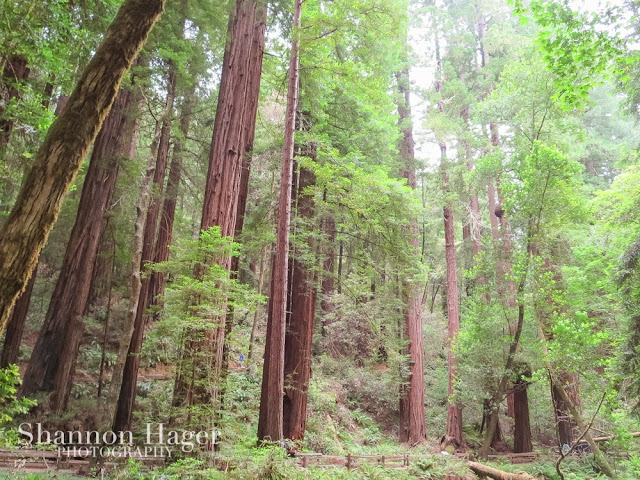 Shannon Hager Photography, Muir Woods, Redwood Trees