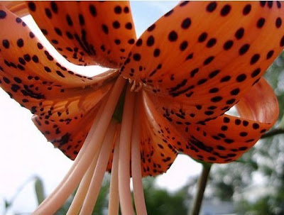 Tiger Lilies Flowers