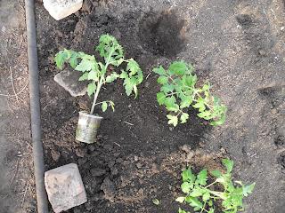 Высадка рассады помидоров