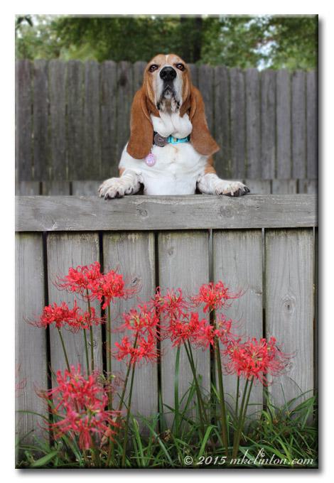 Basset Hound with spider lilies