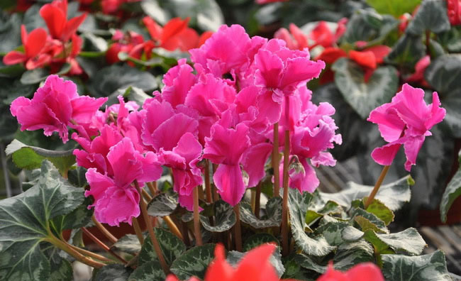 Cyclamen Flowers Pictures