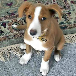 American Foxhound Puppy Picture