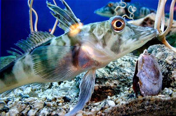 Белокровка или Ледяная рыба
