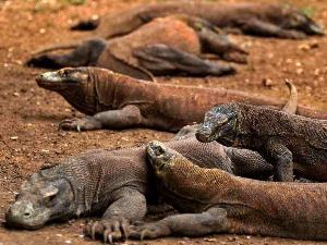 Komodo atau Biawak