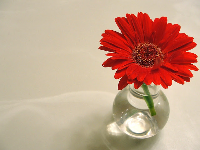 great gerbera in red