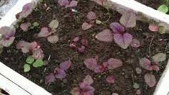 Cách trồng rau dền đỏ, tía tại nhà kỹ thuật
