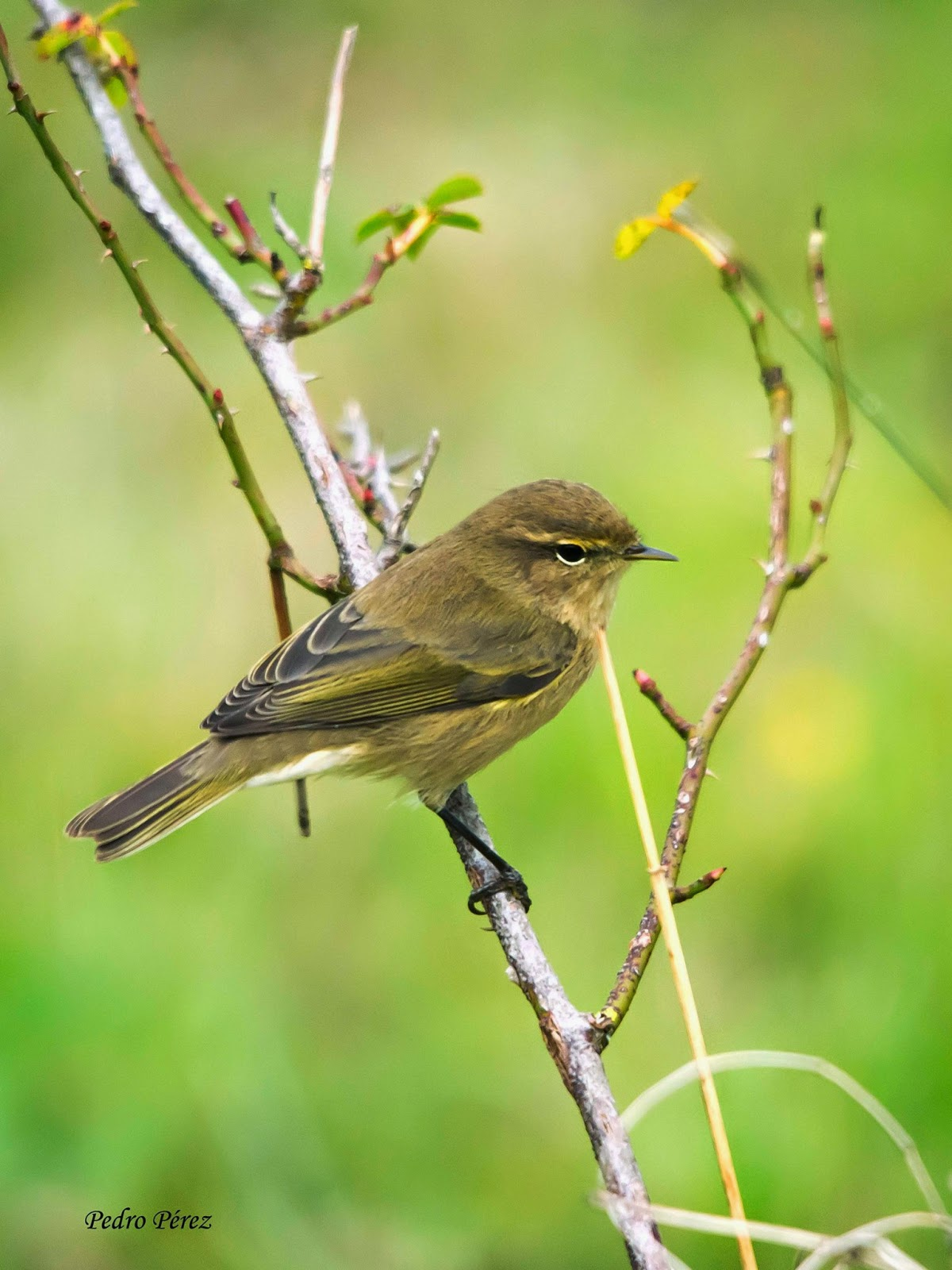 http://www.seo.org/ave/mosquitero-comun/